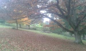Quercus rubra leaves falling in the arboretum